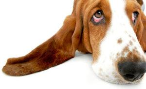 por que mi perro se rasca orejas causas