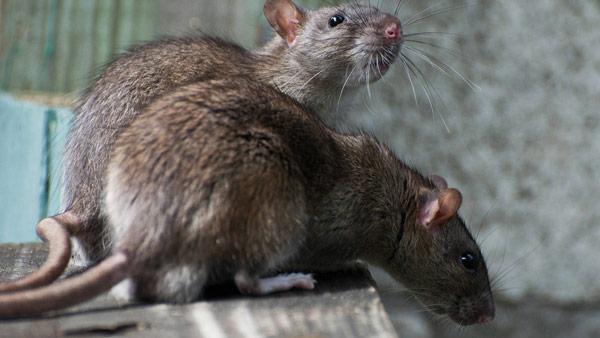 infestacion roedores sector avicola