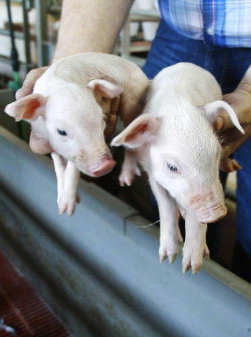 adquiere nuevos cerdos
