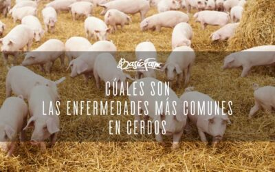 Cuáles son las enfermedades más comunes en cerdos