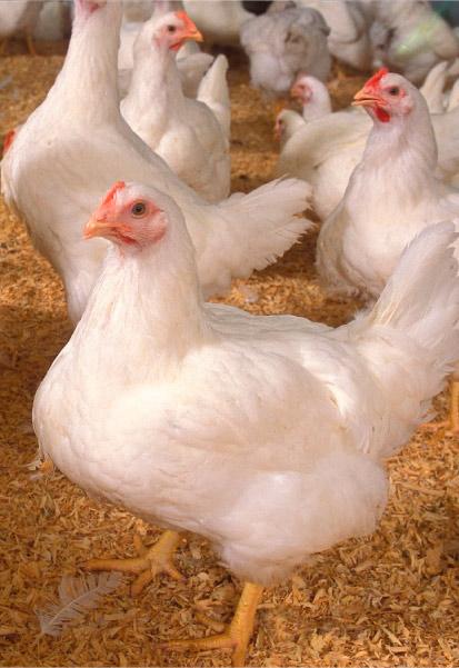 bioseguridad granjas pollos de engorde