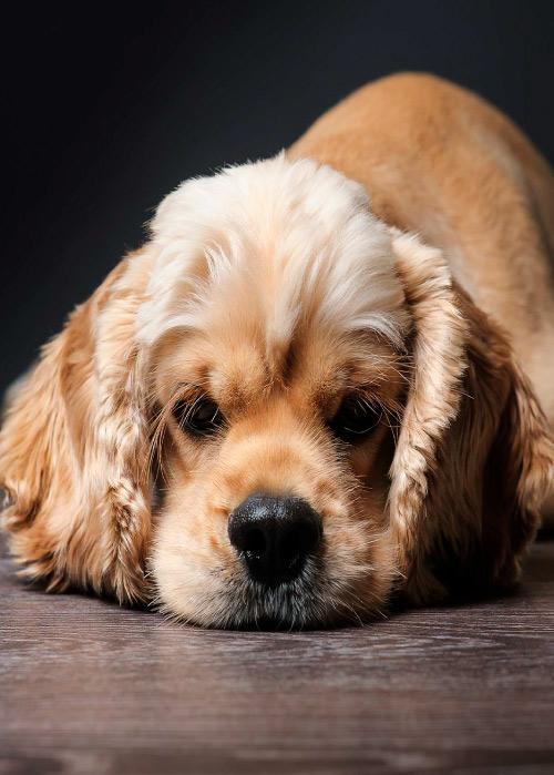 perro rasca orejas en casa