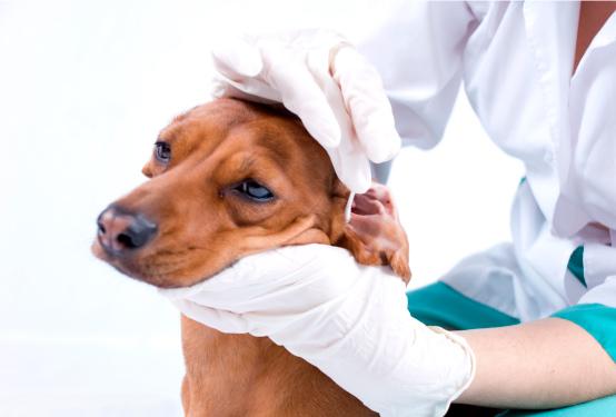 saber si mi perro tiene otitis infecciones