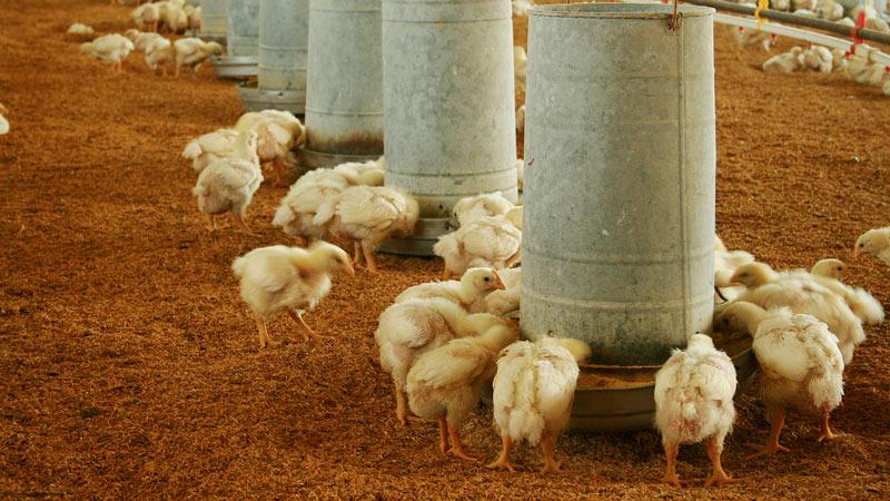cuidar aves de granja agricola