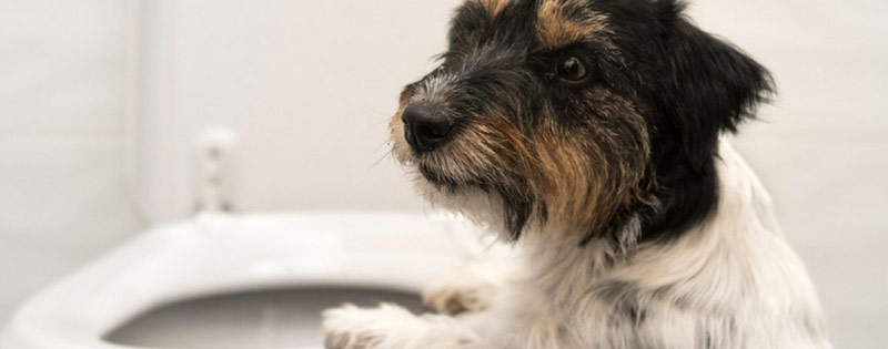 enfermedades mas comunes en perros infeccion vejiga