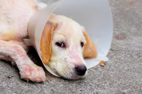 que es sarna afectar perros