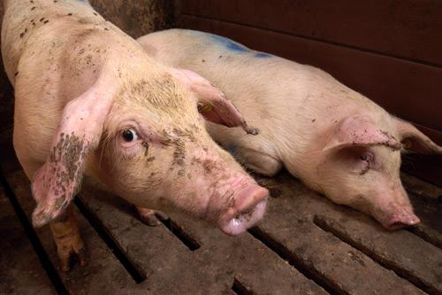 enfermedades mas comunes cerdos circovirus