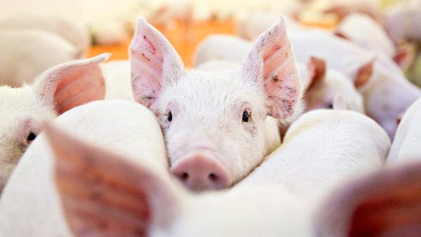 enfermedades mas comunes cerdos sindrome reproductivo respiratorio