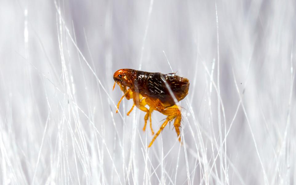 que son pulgas