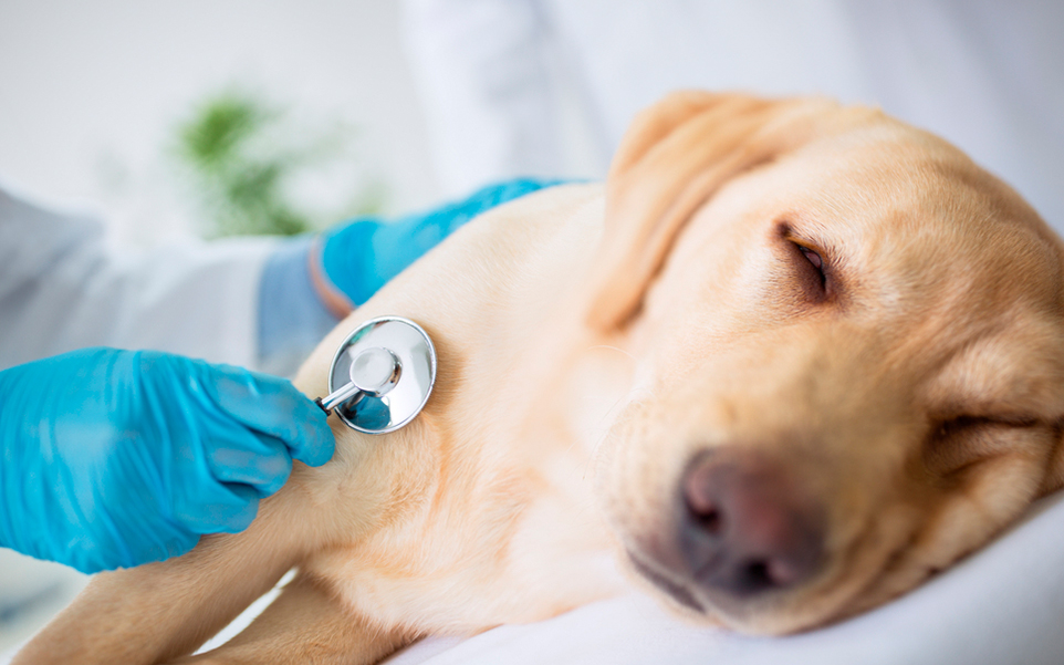 tratamiento enfermedades hepaticas perros