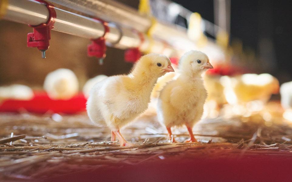 pollos avícola