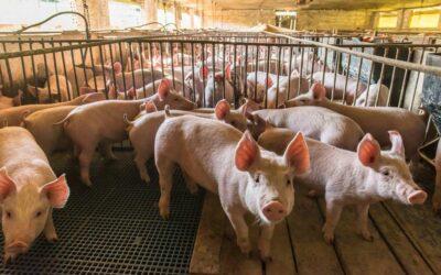 Cómo limpiar y desinfectar una granja porcina