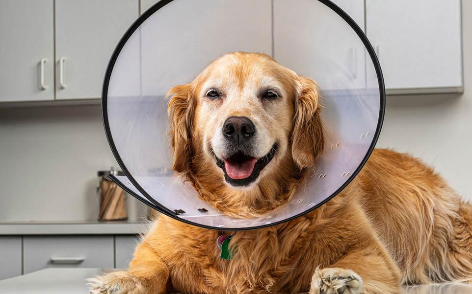 que debo hacer perro lamer herida