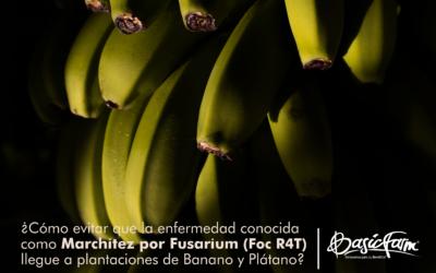 ¿Cómo evitar que la enfermedad conocida como Marchitez por Fusarium (Foc R4T) llegue a plantaciones de Banano y Plátano?